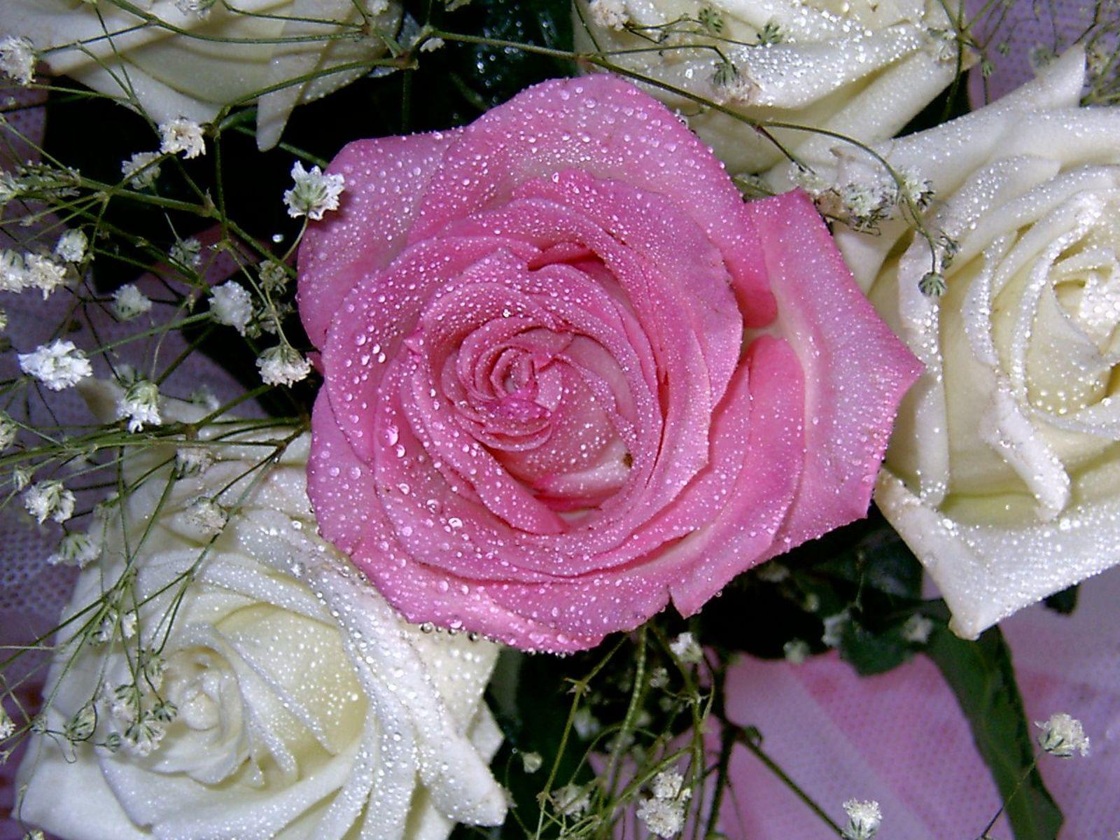 Natural roses white rose pink rose biocorpaavc Choice Image