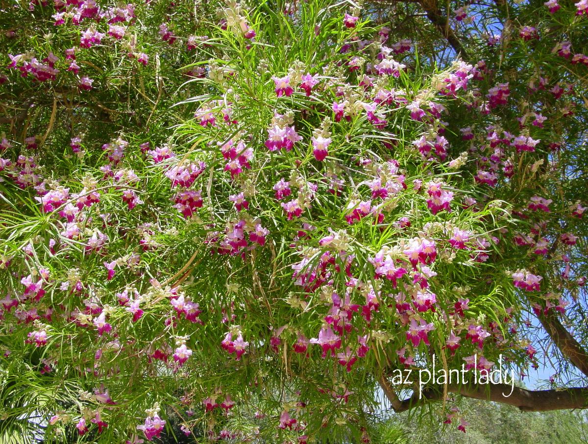 Plant palette for new landscape area trees and shrubs for Best plants for desert landscape