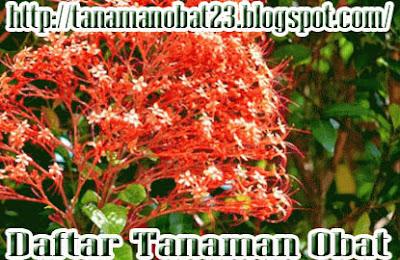 Manfaat Dan Khasiat Tanaman Bunga Pagoda  (Clerodendrum japonicum [Thunb.] Sweet)