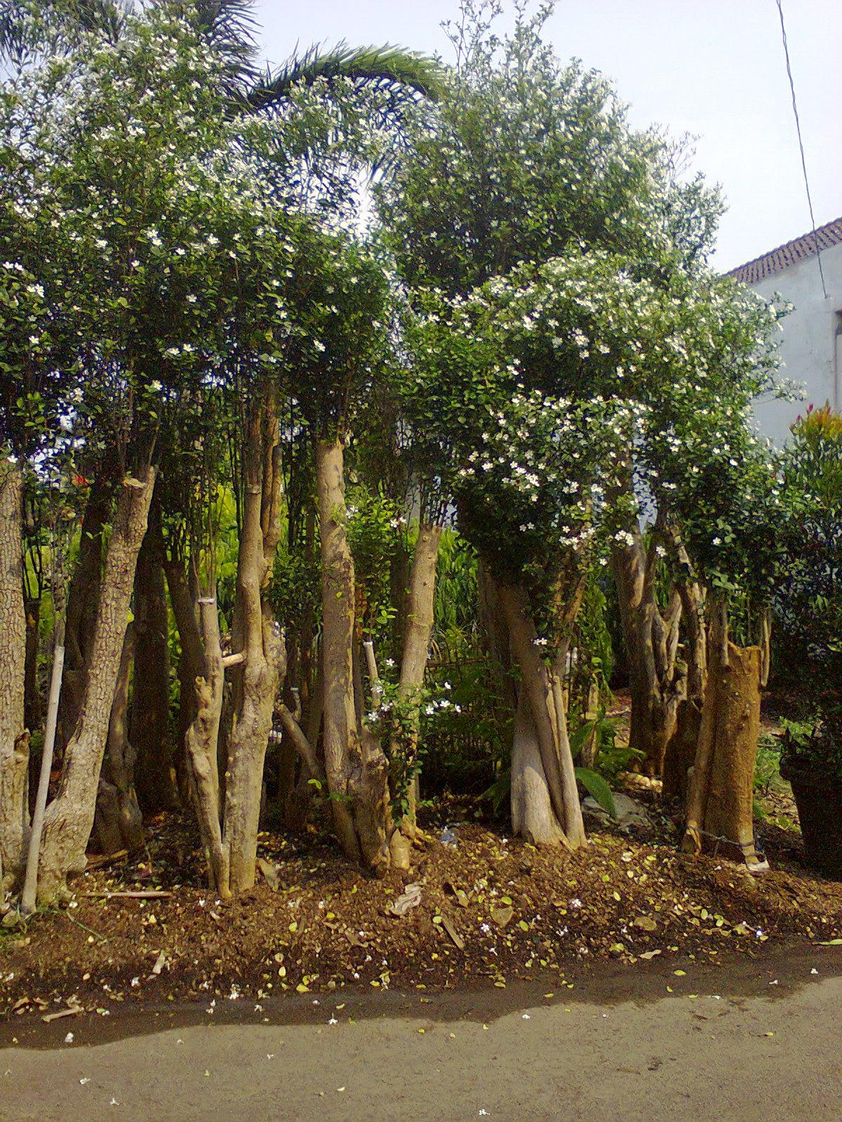 Jual bonsai melati jasmin | bonsai anting putri | bonsai cemara udang