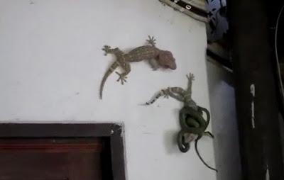 lagartija salamandra que muerde serpiente para salvar a su amiga