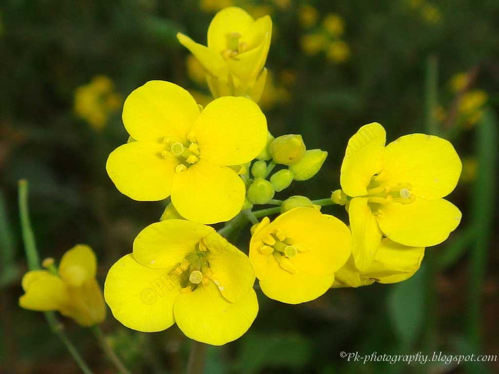 Canola Nature Cultural And Travel Photography Blog