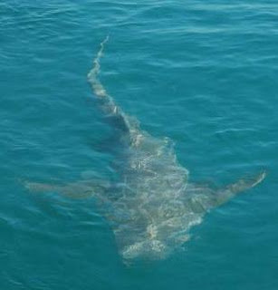 pacific sleeper shark  Species Pacific Sleeper Shark