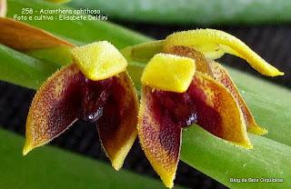 Pleurothallis aphtosa, Specklinia aphthosa, Pleurothallis foetens,Pleurothallis macrophyta, Pleurothallis pelioxantha, Humboldtia foetens