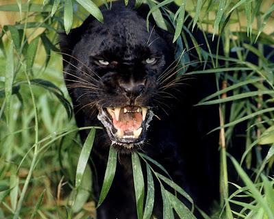 black leopard lion panther