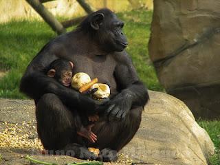 """alt=""""mothering, caring, chimpanzé, chimp, baby, bebé"""""""
