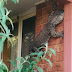 Huge Lizard Caught On The Side Of Australian House (IFL)