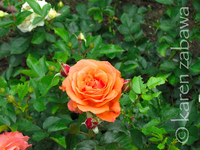 Name of this orange rose unknown, but a gorgeous bloomer.