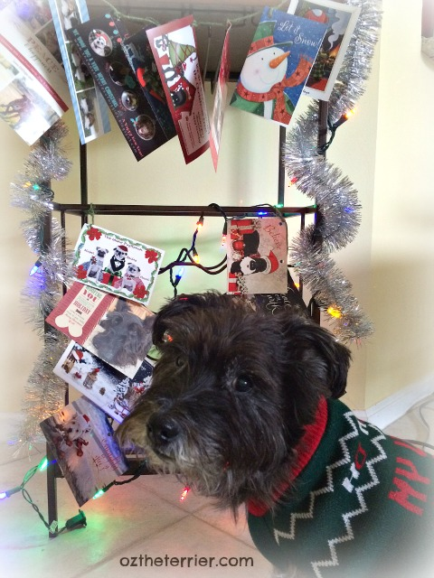 Oz the Terrier with his Christmas Cards