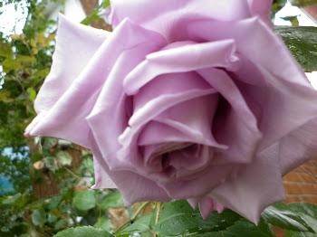 Róża wspomnień