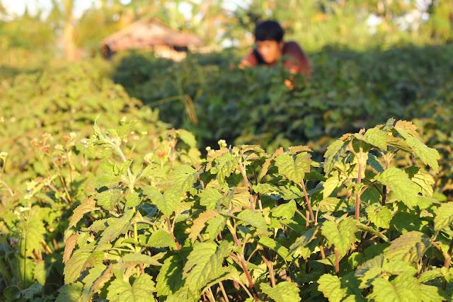 Tanaman Nilam Primadona Baru Petani di Sultra