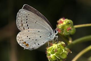 Para ampliar Cupido argiades (naranjita rabicorta) hembra, reverso hacer clic