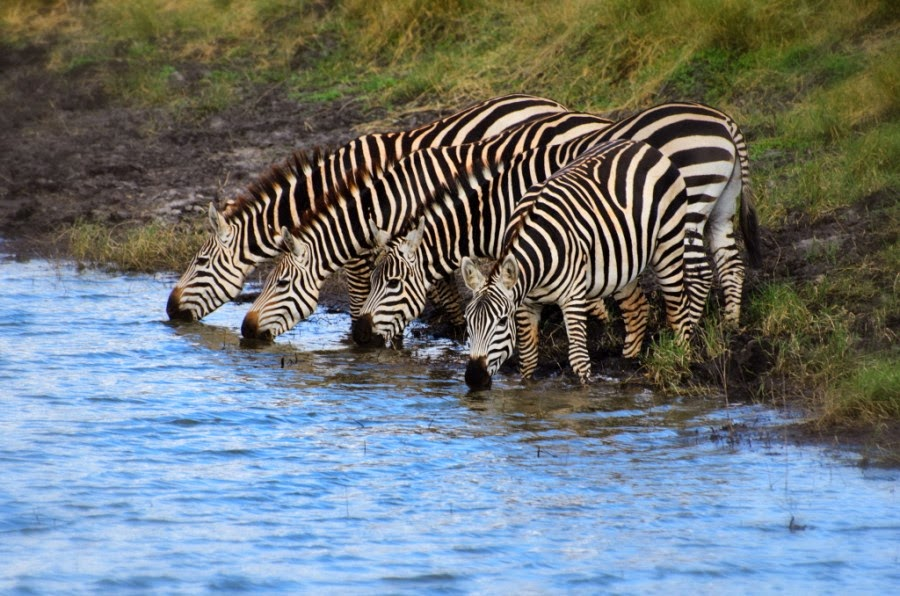 Incredible Pictures of Zebras