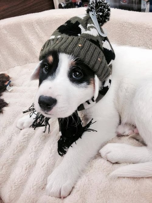 dog wearing snow cap, dog wearing hat