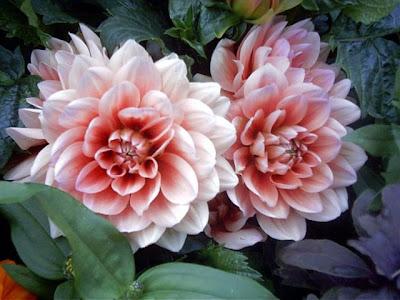 fotos de flores - flor rosada