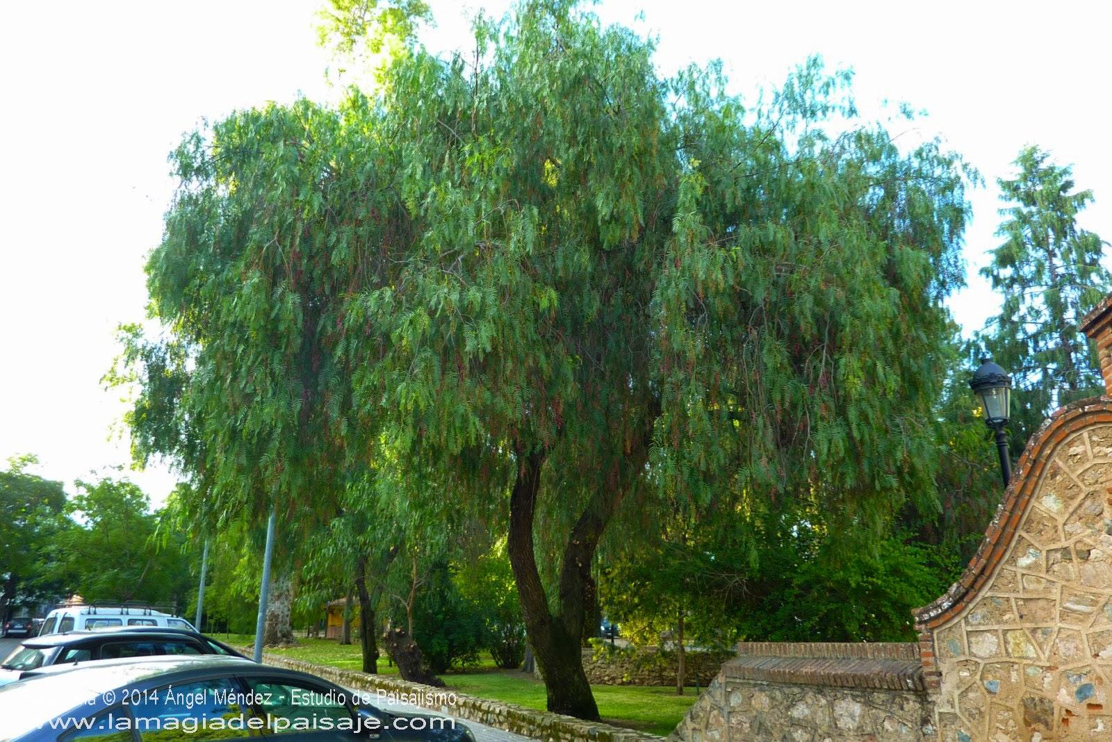 Schinus molle un perenne de contrastes for Arboles crecimiento rapido hoja perenne