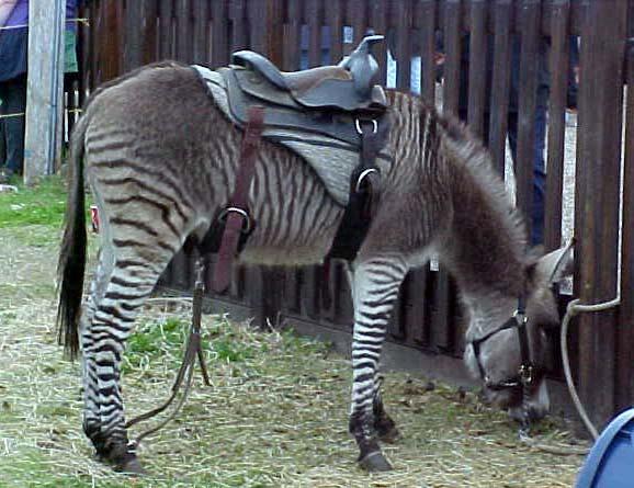 Cheap Insurance Companies >> Zonkey | Animal Wildlife