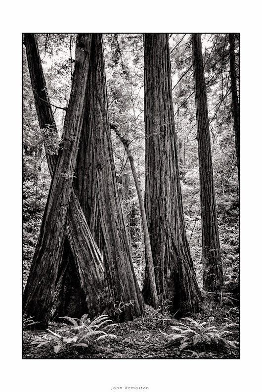 Muir Woods, Landscape photography, black and white photography, giant red woods, black and white fine art photography, Amazing California