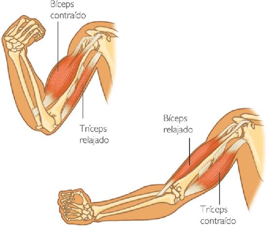 ejercicio en los musculos:
