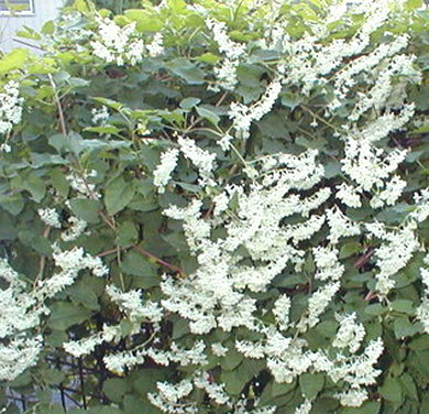 flowers for flower lovers Silver lace vine