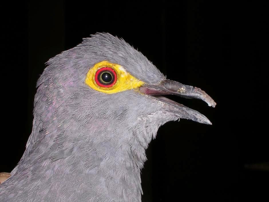 Black cuckoo dove