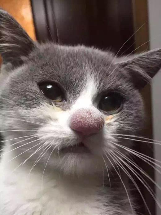 Кота укусили за нос