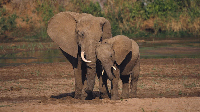 Photo of a mother and young elephant and they are cuddling