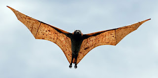 Giant Golden Crowned Flying Fox Flying Wings