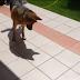 Γερμανικός ποιμενικός κυνηγάει τη σκιά του! (video)