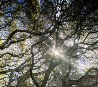 Dimond Oak