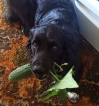 Zeke with favorite snack--fresh cucumeber!