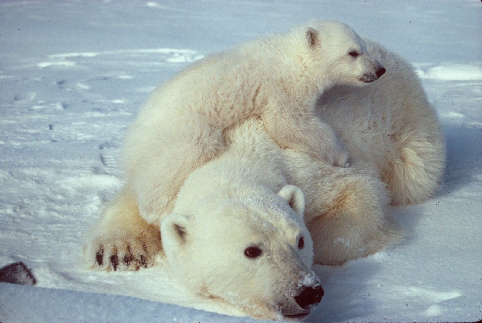 http://4.bp.blogspot.com/-aWoaN8x4VHk/T1hPO7eSU9I/AAAAAAAAERY/Nh5XUbceECs/s1600/Ursus_maritimus_Polar_bear_with_cub_2.jpg