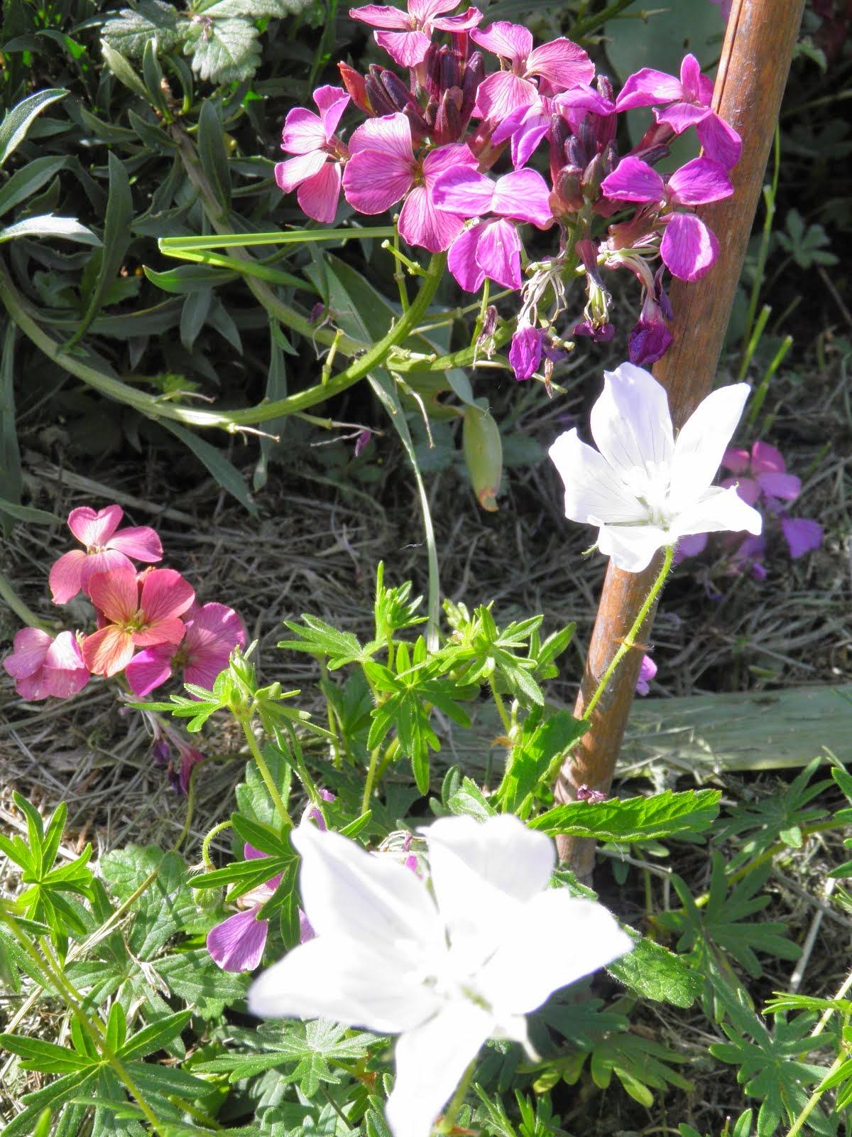 Géranium vivace et giroflée