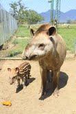 Nasce bebê anta no Portobello Resort & Safari