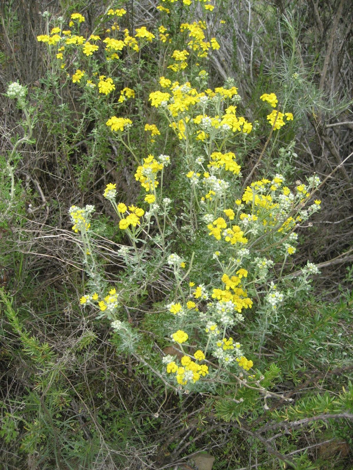 http://4.bp.blogspot.com/-aXbJSZkWIjM/TbXahYmkJLI/AAAAAAAACiI/Cbg7JLWAjHA/s1600/San+DIego+Yellow+Yarrow.JPG