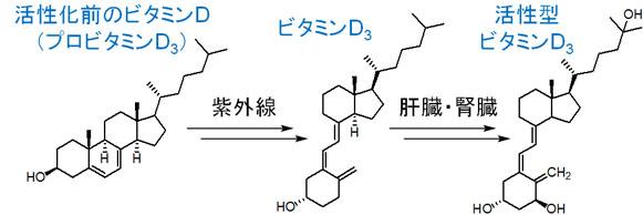 PAK 遮断剤「ビタミン D3 」の代謝