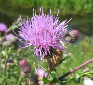 Бодяк полевой осот розовый - медоносы