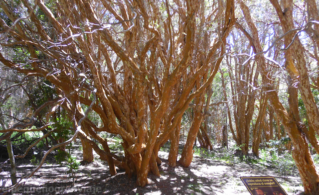 Bosque,  Arrayanes, arbol