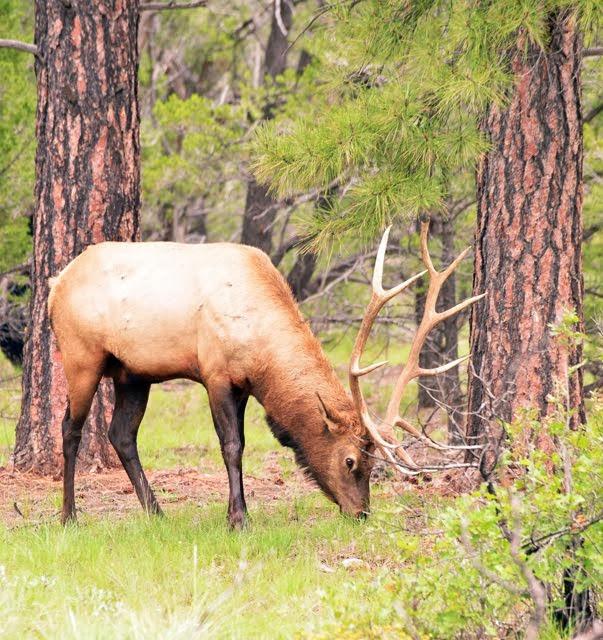 Elk  2353