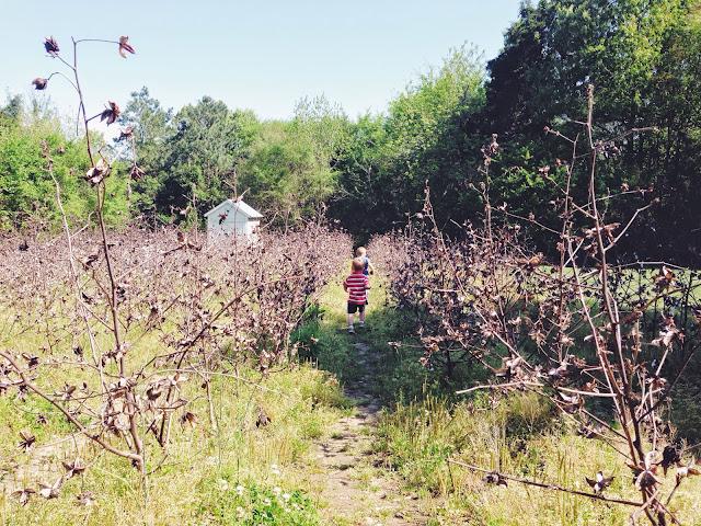 oak-view-cotton-farm