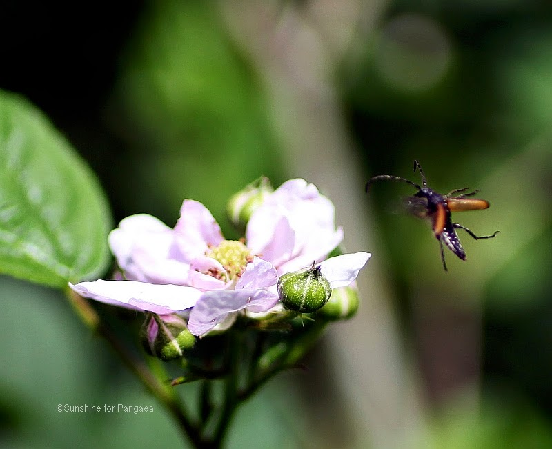 flying longhorn beetle on a flower