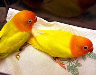karakter love bird