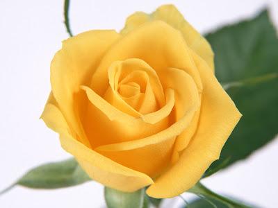 Pakistani cricket player yellow rose flower wallpaper yellow rose flower wallpaper mightylinksfo Choice Image
