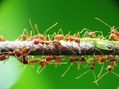 Semut Rangrang