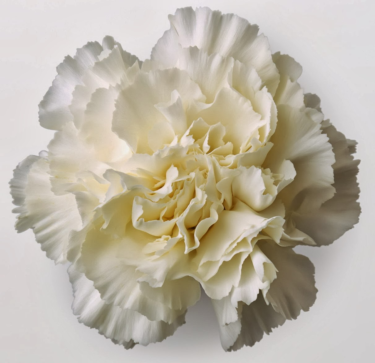 January Birth Flower White Carnation meaning Pure