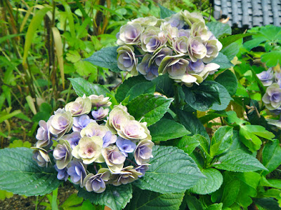 The two color hydrangeas at the Garden of Morning Calm in Gapyeong