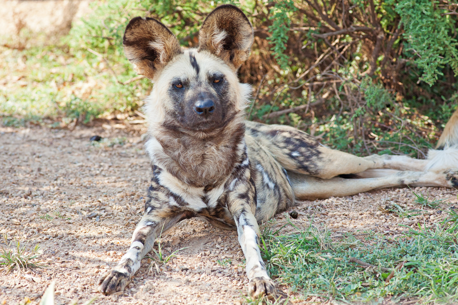 Can African Wild Dogs Breed With Wolves