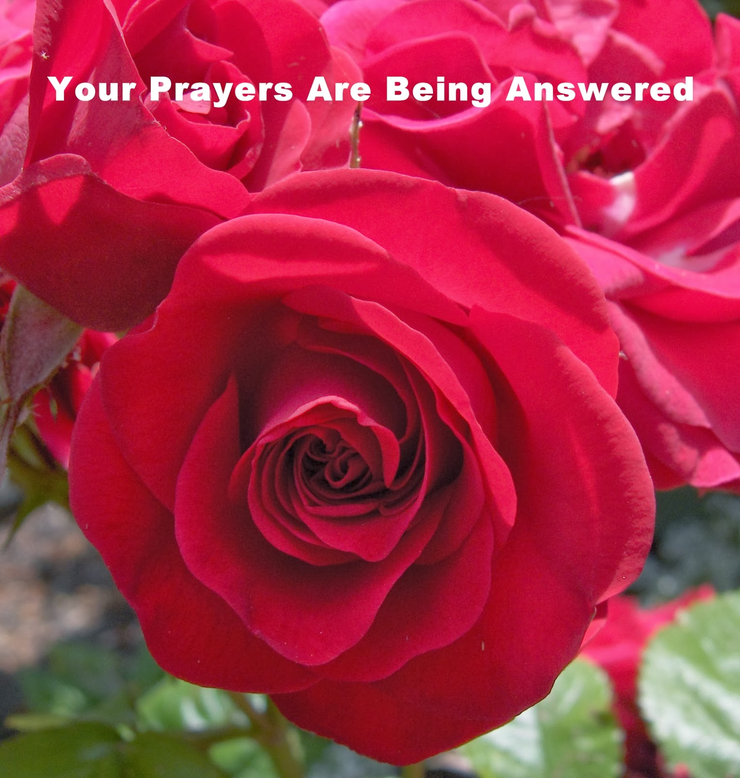 67 Not Out The Meaning Of Roses And White Feathers As A Symbol Of