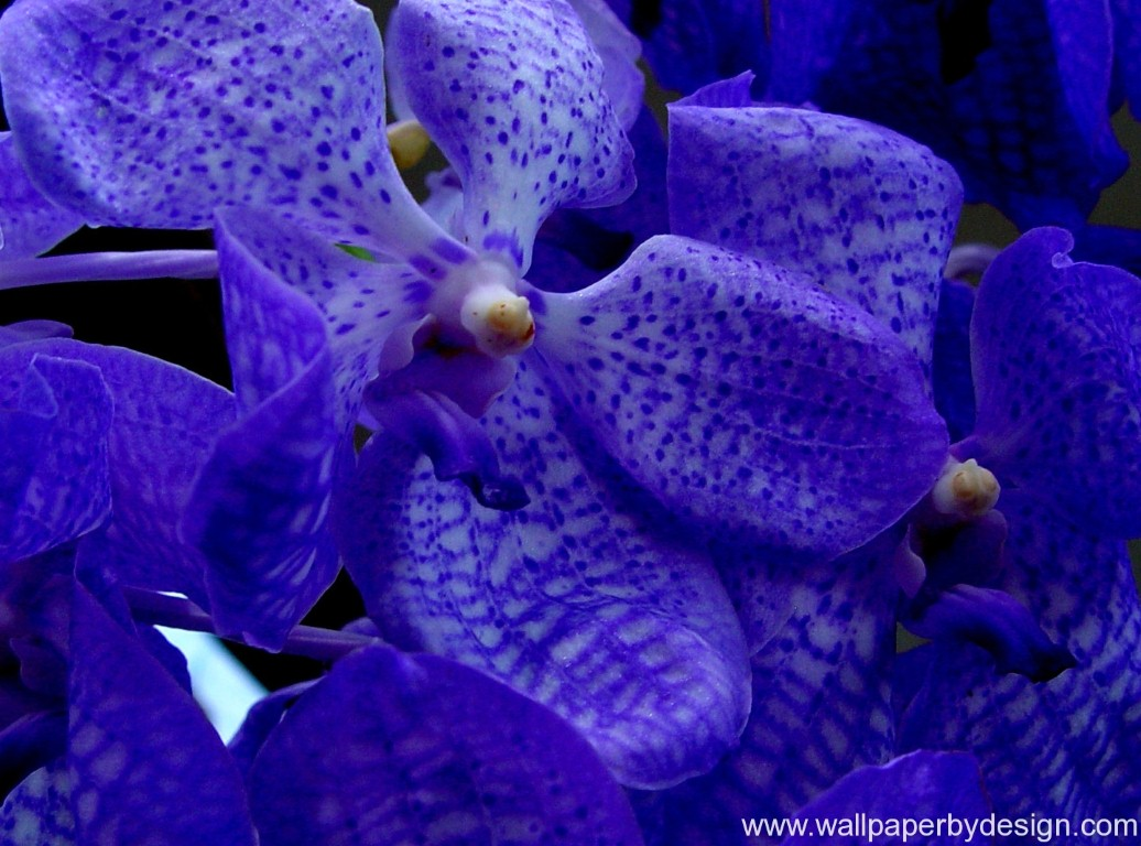 Awesome Blue Orchid Wallpaper Pink Flower Wallpapers
