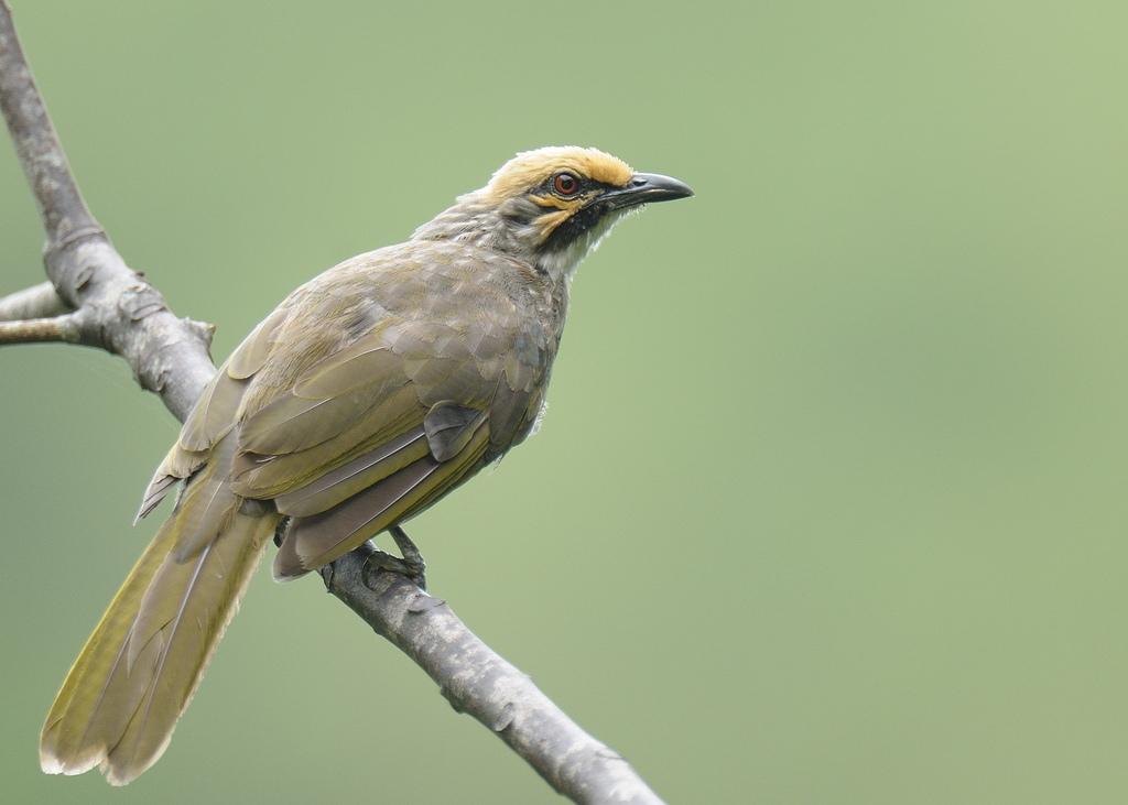Burung Cicak Rawa